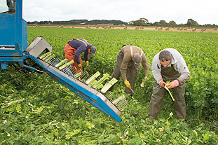 Salad rigs are used to harvest iceberg, gem and cos lettuce - image: Neil HoSalad rigs are used to harvest iceberg, gem and cos lettuce - image: Neil Holmes