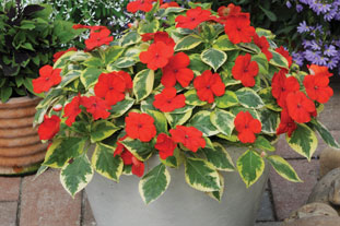 Impatiens 'Masquerade' a clear favourite with the public at Ball Colegrave open days - image: Ball Colegrave