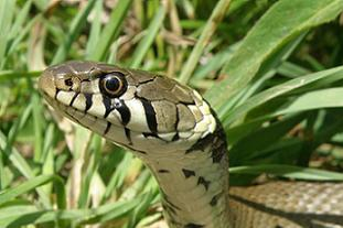 Hampstead Heath hopes to increase reptile numbers - image: City of London