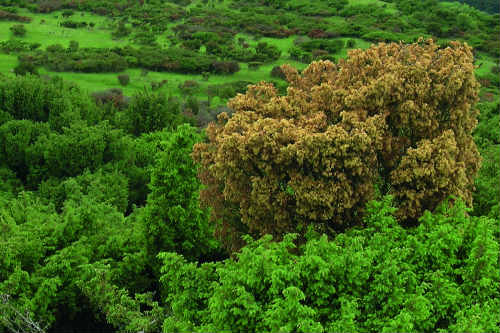 Juniper in reserve hit by disease - image: Martin Furness