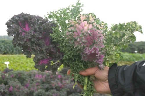 Tozer Seeds' new brassica leaves - image:HW