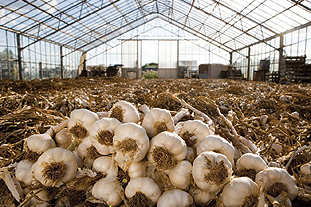 Garlic growers may be affected by changes to visa regulations for seasonal workers - image: The Garlic Farm