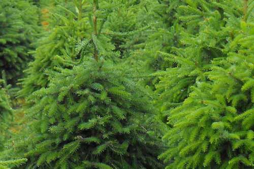Needlefresh Christmas trees - image: Needlefresh Direct