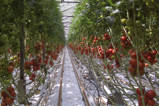 Rhymney Valley Nursery where supplier Stubbins grows tomatoes from two of its glasshouse sites - image: Stubbins