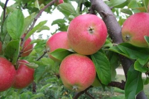 Autumn Blush apples - image:Adrian Scripps