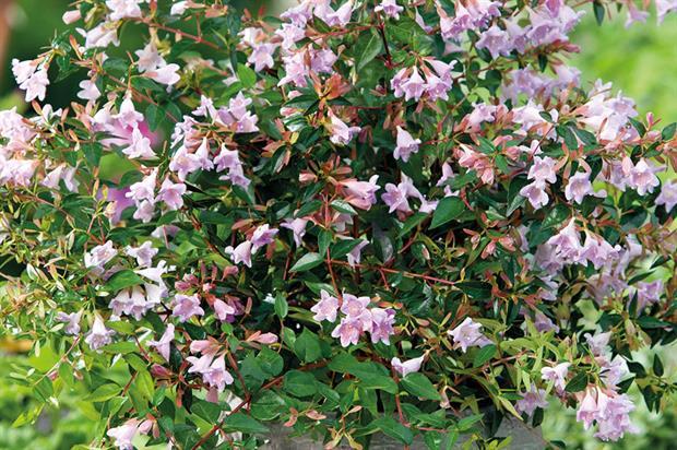 Abelia Horticulture Week