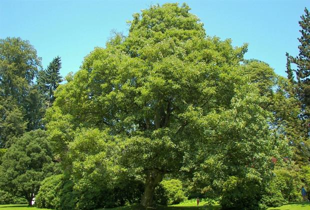 Sycamore is recommended for Yorkshire