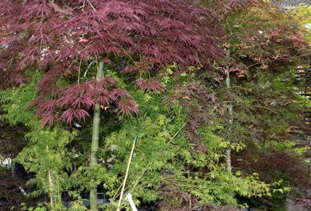Acer among nursery stock at risk of powdery mildew