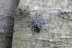 Adult male citrus longhorn beetle - photo: Defra