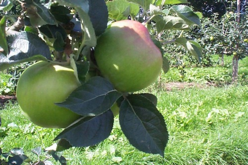 Bramley apples - image: Brammy Awards