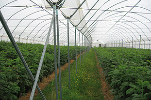 Polytunnels are often used to provide environment for field-scale protection of fresh producce and to assist early, mid-season and late growing seasons - image: Haygrove Tunnels