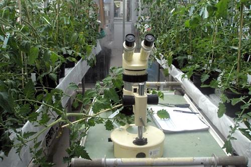 screening tomato plants for Bemisia resistance - image: Wageningen UR