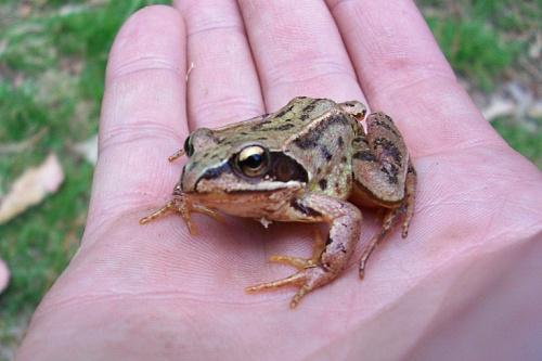 common frog - image: Emilio García