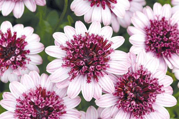 Osteospermum 3D Berry White - image: Ball Colegrave
