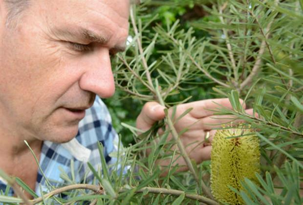 Dr Chris Clennett with the outdoor flowering Banksia at Wakehurst
