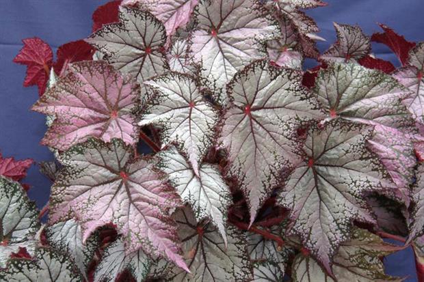 Begonia Pink Gin - image: Dibley's Nurseries