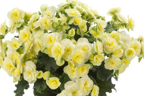Begonia 'Glory Lemon' - image: BeekenKamp