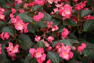 Begonia Benariensis BIG, from Benary offers to savings to growers - photo: HW