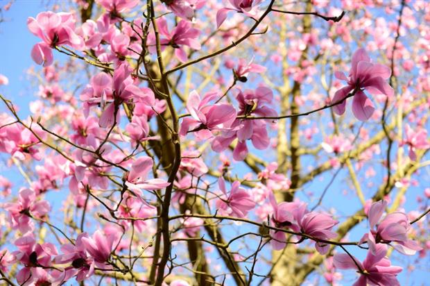 Magnolias in bloom. Image: Borde Hill Gardens
