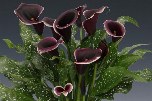 Brighter Blooms' Zantedeschia 'Dubai Nights' - image: RHS