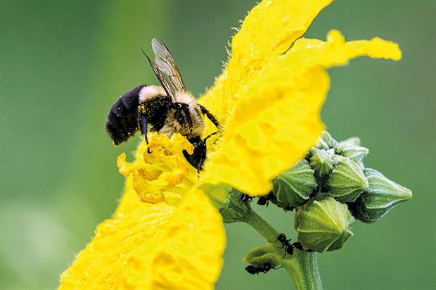 Pollinators: further studies on effect of neonicotinoids - image: John Earl