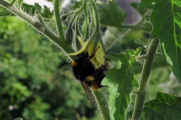 Bumblebees: no licence renewal  - image: Seelensturm