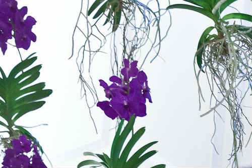 Vanda orchid wins eFIG's indoor plant of the year award - image: eFIG