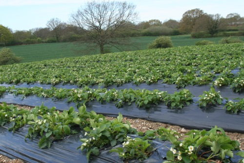 Wilkin & Son fruit farm in Essex, among those open to visitors on Open Farm Sunday - image: HW