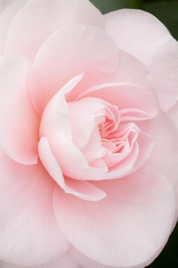 Camellia japonica incarnarta