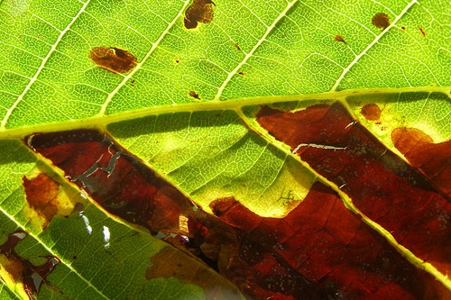Horse chestnut leaf showing Cameraria ohridella damage - image: Tristram Brelstaff