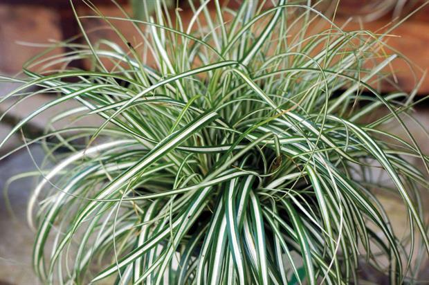 Carex oshimensis 'Everlite' (EverColor)