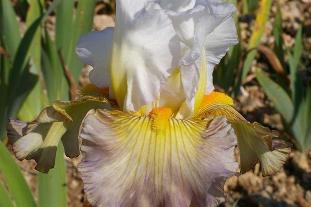 Cayeux Iris 'Sur la Plage' - image: RHS