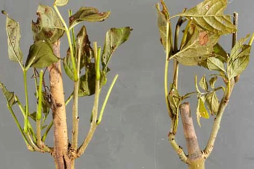 Chalara-infected samples - image:Forestry Commission