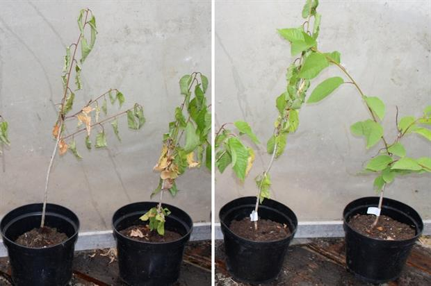 Drought-stressed young cherry trees in biochar-amended soils (right) compared to control (left) - image: Bartlett