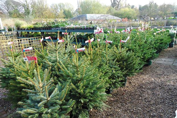 Christmas trees: garden centres have been facing competition from pop-up sellers setting up on garage forecourts - image: HW