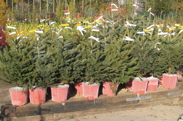 wyevale garden centres sees mini potgrown christmas tree sales rise 300 horticulture week - Small Live Christmas Trees In Pots