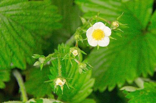 strawberry in flower - image: Don Schuetze