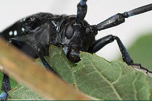 Citrus longhorn beetle - image: Fera