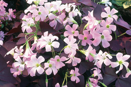O. triangularis - image: Floramedia