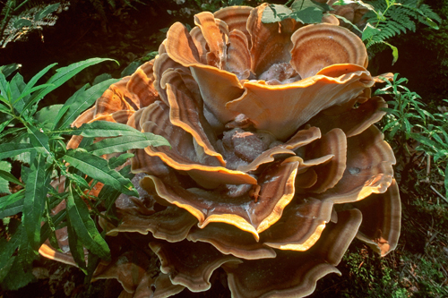 Image result for polypore