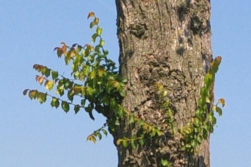 Diseased elm - image:Deb Collins
