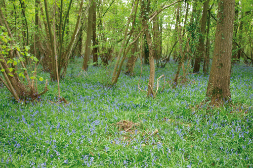 Work by thte Wildlife Trusts mean woods such as Broke Wood are protected in the interests of biodiversity - image: Geoff Dixon