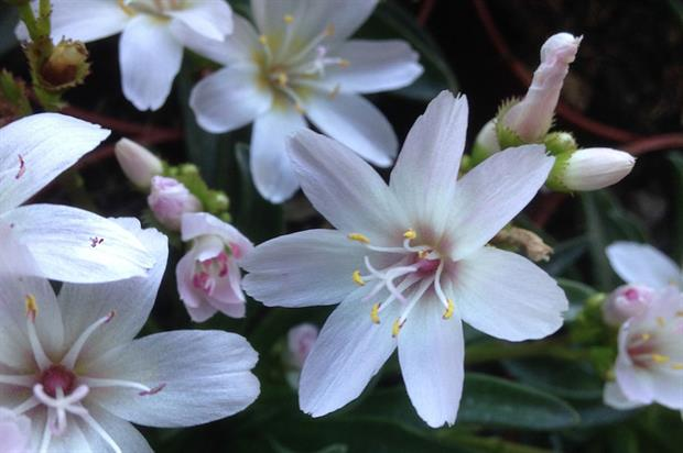 Lewisia longipetala 'Little Snowberry' - image: RHS