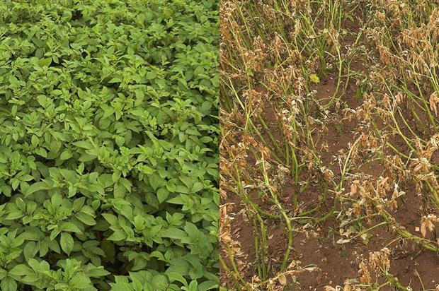 Potato crop before and six days after desiccation - image:Syngenta