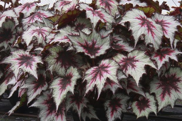 Begonia 'Silver Spirit' - image: Dibley's Nurseries