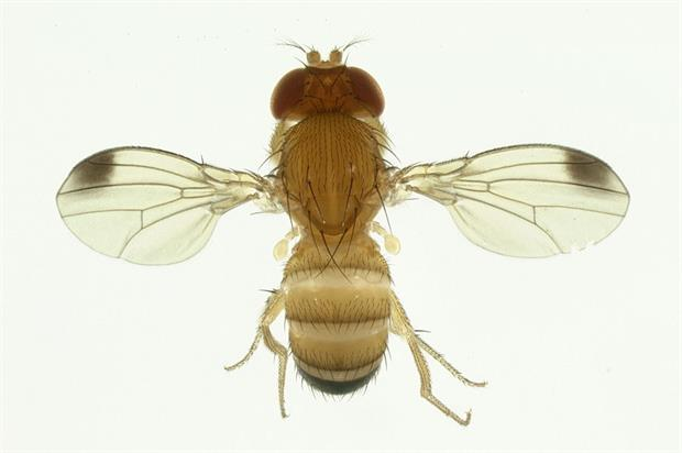 Drosophila: work being carried out to find a suitable predatory mite - image: G Steck