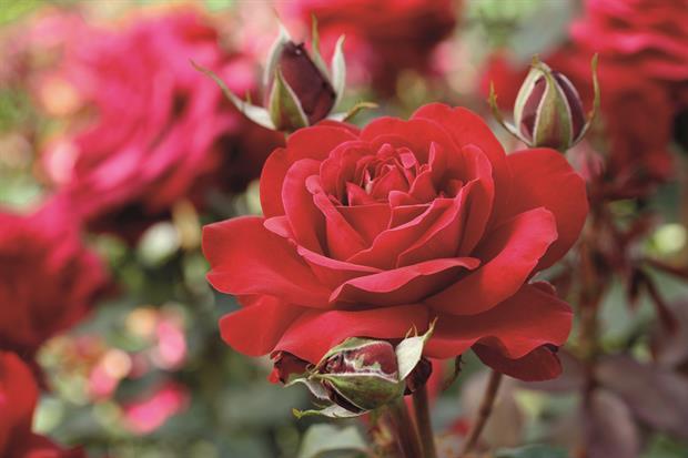 Fryer's Roses' Duchess of Devonshire