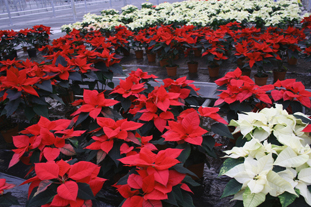 Poinsettia: UK-grown plants sales could soon exceed those of Dutch varieties. Image: HW