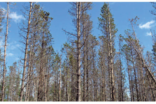 Red band needle blight surfaces in Scotland - image: Forestry Commission