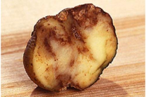 Blight-infested potato - image:USDA